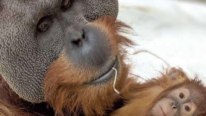 Orang-Utan-Männchen zieht Baby im Zoo allein auf