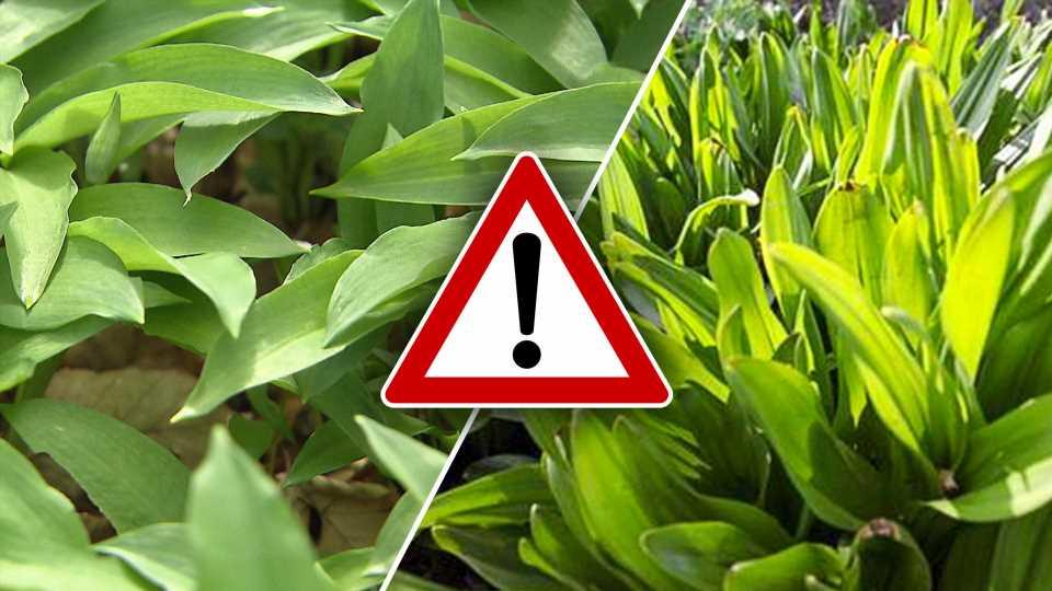 Mit Bärlauch verwechselt: Herbstzeitlose tötet Mann – SO erkennen Sie giftige Pflanzen