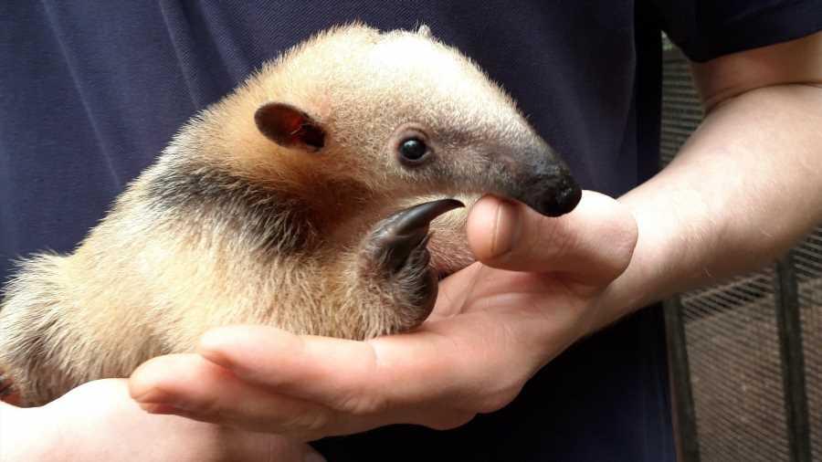 Nachwuchs mit Seltenheitswert: Kleiner Ameisenbär im Zoo Duisburg geboren