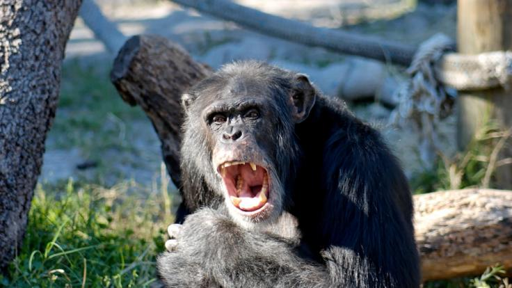 Olli Ollerton: Schimpanse reißt Reality-TV-Star beinahe den Arm ab